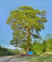 عکس پانوراما -  درخت بلوط 420 ساله