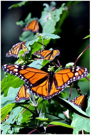 fotografía de la mariposa monarca por Salvador Solorzano