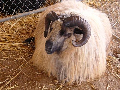 shetland-ram