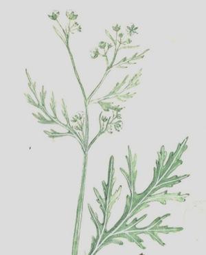 Parthenium-killer-weed