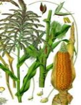 Maize-zeamays