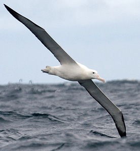 Diomedia-epomorphora- Largest-seabird