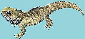 Sphenodon-Living-fossil-reptile