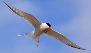 Stemaparadisaea-Longest-distance-flying-birds