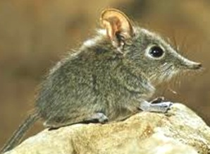 Shrew-smallest-mammal