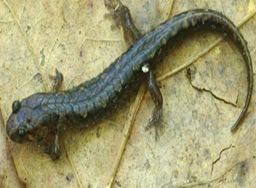 Desmognathus-smallest_salamander