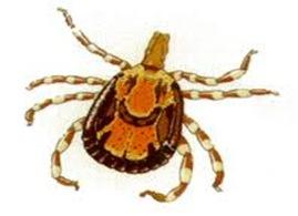 Ambloyma-largest-tick