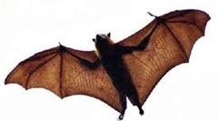 Pteropus-largest-bat