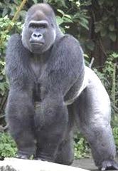 Gorilla-Largest-Primate