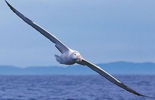 Albatross_Largest_Wing
