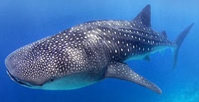 Rhinodon-typus-largest-fish-whale-shark
