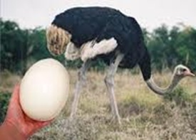 Largest cell — Egg of Ostrich