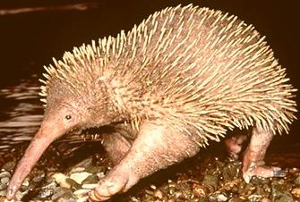 echidna-primitive-mammal