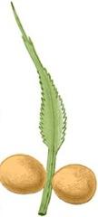 cycas-megasporophyll