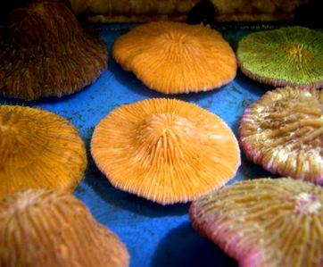 Coral-fungia