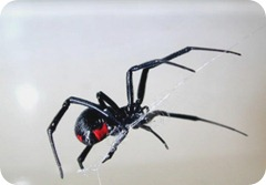 mostpoisonous-black_widow-spider