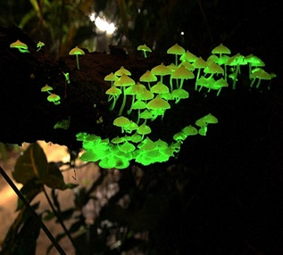 bioluminescent-mushrooms