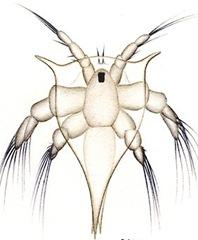 Nauplius-larvae-prawn