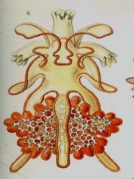 brachiolaria_larva