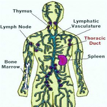 thoracic-duct
