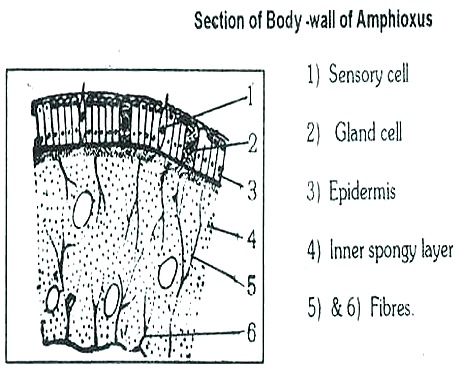 AMPHIOXUS- BODY WALL