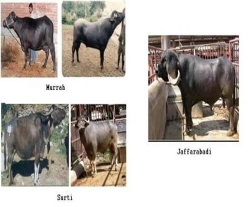 cattle-buffelo-breeds