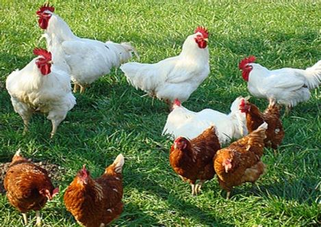 poultry-farm-semi-intensive