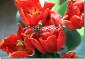 tulipbirdseye