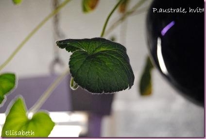 pelargonium 036