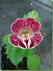 Blomster og drivhus mai 09 033