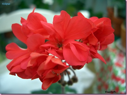 Pelargoner 09 011-1