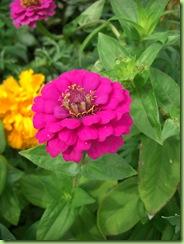 Blomster i haven juli 09 009