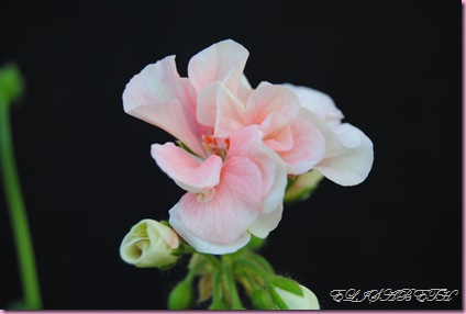Pelargonium  juli -10 015