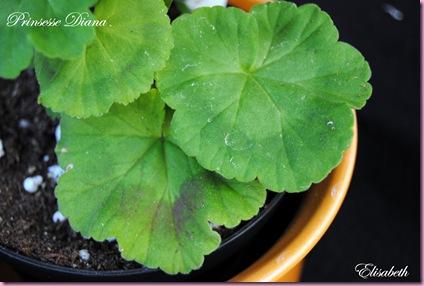 Pelargonium  juli -10 017