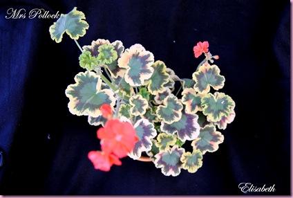 Pelargonium  juli -10 048