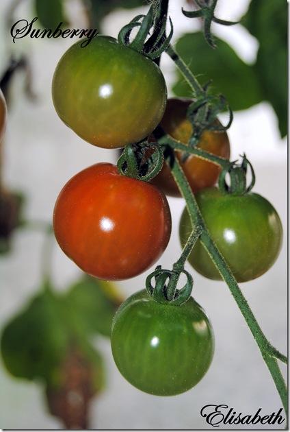 Tomater og edderkopp 009