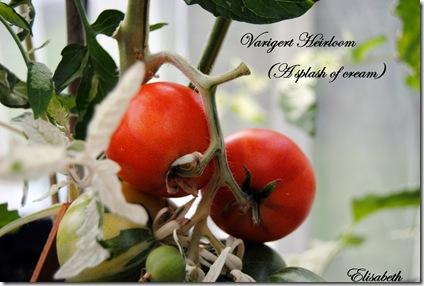Tomater og edderkopp 030