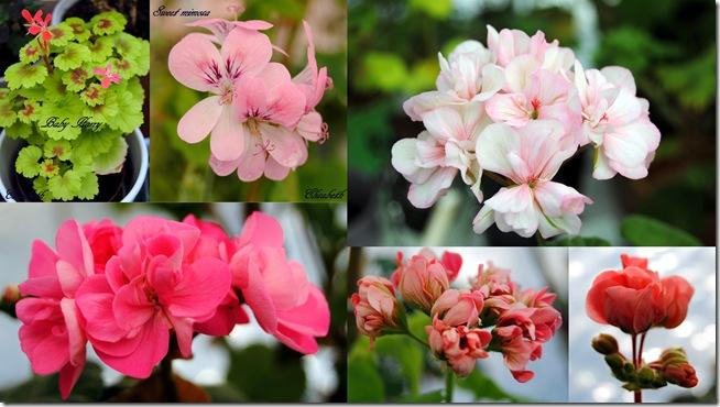 2011-03-30 Pelargoner mars 2011