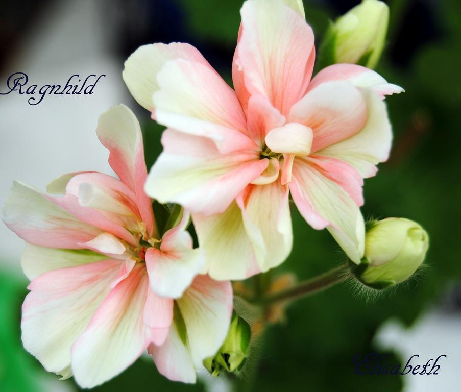 [Pelargonium april -11 051[4].jpg]