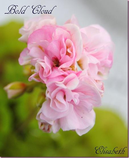 Pelargonium april -11 004