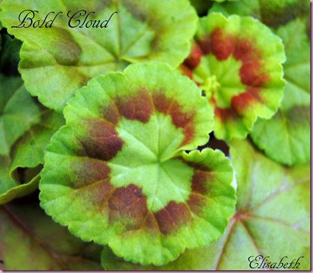 Pelargonium april -11 007