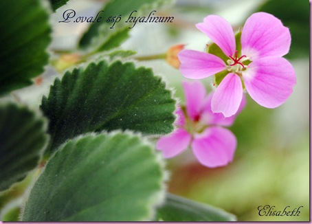 Pelargonium april -11 026