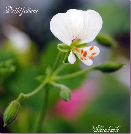 pelargonium i mai 2011 095