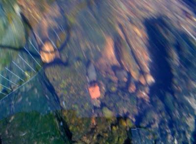 Tadpoles in Sulivan's Creek