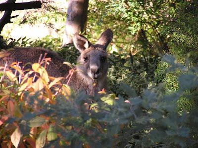 backyard kangaroo