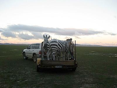 zebras on a trailer