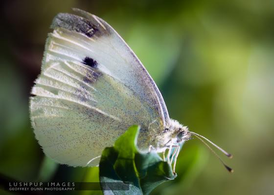 Butterfly by reddog