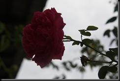 Bunga Ros 21.8.2010 002