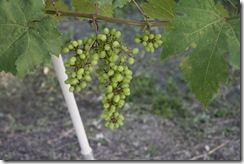 Anggur kak CT 3.2.2011 004