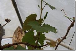 Anggur kak CT 3.2.2011 002